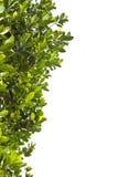 Fogli di verde su priorità bassa bianca Fotografie Stock