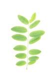 Fogli di verde su priorità bassa bianca Fotografia Stock
