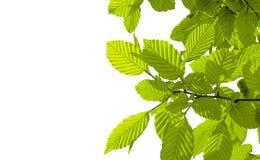 Fogli di verde su priorità bassa bianca Immagine Stock Libera da Diritti