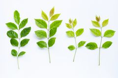 Fogli di verde su priorit? bassa bianca fotografia stock