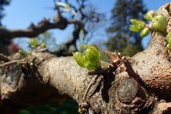 Fogli di verde sull'albero Immagine Stock