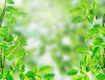 Fogli di verde sulla priorità bassa chiara del bokeh Fotografia Stock Libera da Diritti
