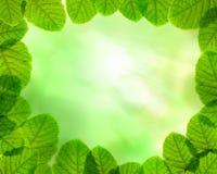 Fogli di verde sulla priorità bassa del fascio del sole Immagini Stock