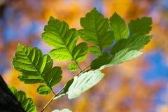 Fogli di verde sulla priorità bassa di autunno Fotografie Stock Libere da Diritti