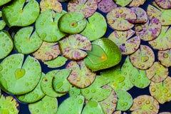 Fogli di Waterlily immagini stock