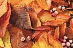 Fogli e bacche di autunno Immagini Stock Libere da Diritti
