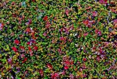 Fogli e Berris nei colori di caduta fotografia stock