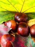Fogli e castagne di autunno. Immagine Stock
