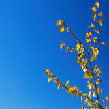 Fogli e cielo blu di colore giallo Immagini Stock
