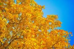 Fogli e cielo blu di colore giallo fotografia stock libera da diritti
