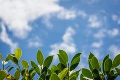 Fogli e cielo blu di verde Immagini Stock
