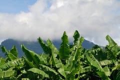 Fogli e cielo della banana Fotografia Stock