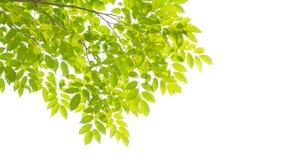Fogli e filiali di verde Fotografia Stock Libera da Diritti