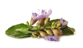 Fogli e fiore della salvia immagini stock libere da diritti
