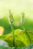 Fogli e fiore della zucca Fotografia Stock Libera da Diritti