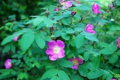 Fogli e fiori dei cinorrodi Fotografie Stock