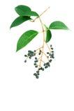 Fogli e frutta di verde Fotografia Stock Libera da Diritti