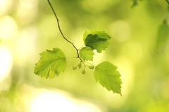 Fogli e frutta su priorità bassa verde Fotografie Stock