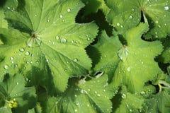 Fogli e gocce di pioggia Fotografie Stock