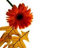 Fogli e margherita di autunno Fotografia Stock Libera da Diritti