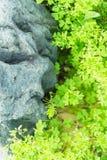 Fogli e roccia di verde Fotografie Stock