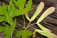 Fogli e semi dell'albero di acero Immagini Stock