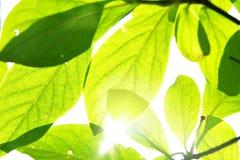 Fogli e sole di verde Immagine Stock