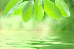 Fogli ed acqua di verde immagine stock
