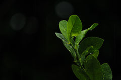 Fogli freschi del limone fotografie stock libere da diritti