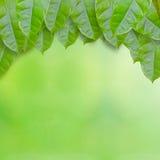 Fogli freschi di verde Fotografia Stock Libera da Diritti