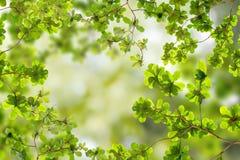 Fogli freschi di verde fotografie stock