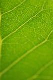 Fogli freschi di verde Fotografie Stock Libere da Diritti