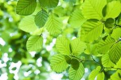 Fogli freschi di verde Immagine Stock