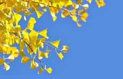 Fogli gialli del ginkgo fotografia stock libera da diritti