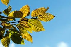 Fogli gialli del hornbeam di autunno fotografia stock libera da diritti
