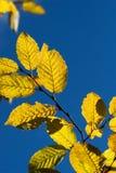 Fogli gialli del hornbeam di autunno fotografia stock