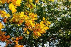 Fogli gialli della quercia di autunno Autunno dorato nella foresta Fotografia Stock