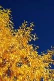Fogli gialli della tremula Immagine Stock