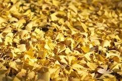 Fogli gialli di biloba del ginkgo Fotografia Stock