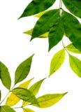 Fogli gialli e verdi Immagine Stock Libera da Diritti