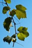 Fogli illuminati dell'uva Fotografia Stock