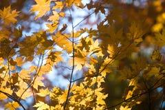 Fogli illuminati di colore giallo immagini stock libere da diritti