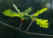 Fogli inglesi della quercia Immagini Stock