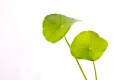 Fogli isolati della pianta acquatica fotografia stock libera da diritti