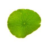 Fogli isolati della pianta acquatica immagini stock