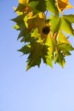 Fogli luminosi dell'albero del platanus Fotografia Stock
