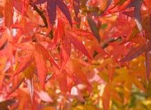 fogli luminosi di autunno rossi Fotografia Stock Libera da Diritti