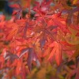 fogli luminosi di autunno rossi Immagine Stock