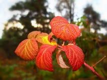fogli luminosi di autunno rossi all'aperto Fotografia Stock Libera da Diritti