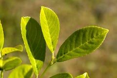 Fogli maturi e verdi dell'alloro di ciliegia Fotografia Stock